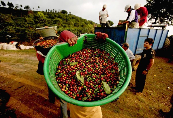 60332389 costa rican coffee beans