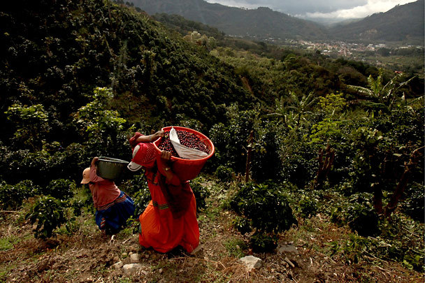 Costa-Rican-Coffee-Plantation