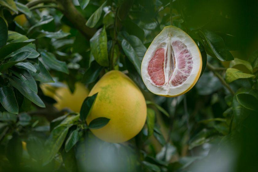 Raudonasis ir oranžinis greipfrutų karalius pomelo: originalūs receptai jūsų stalui